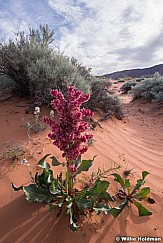 Pink Flower Desert 041519 3300