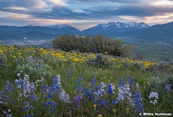 Ridgeline Wildflowers Heber 061219 3781 2