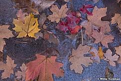 Maple Leaves 110519 3761 2