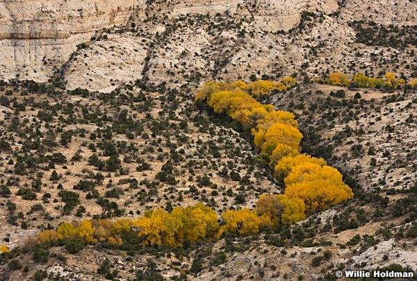 Yellow Cottonwood Trees 101817 4632 2