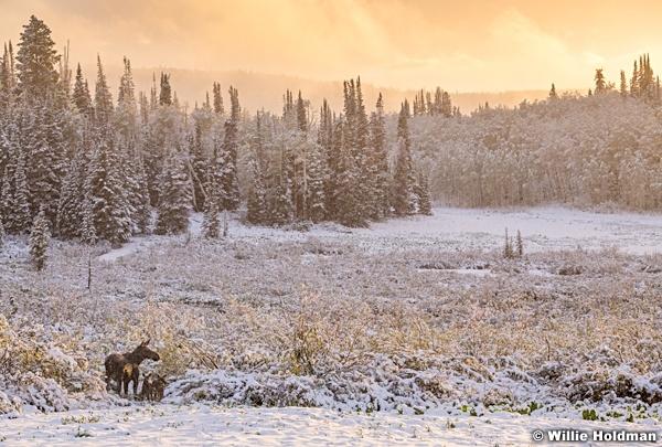 Golden Lake Creek Moose 060720 9256 9219