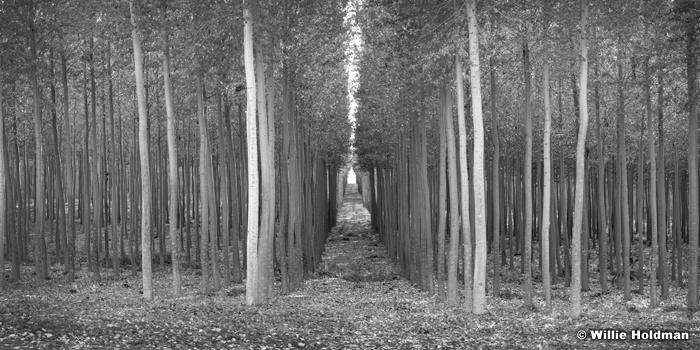 Through The Trees 102516 6972 Black and White