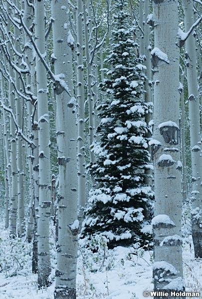 Lone Aspen Snow 092417 3229 2