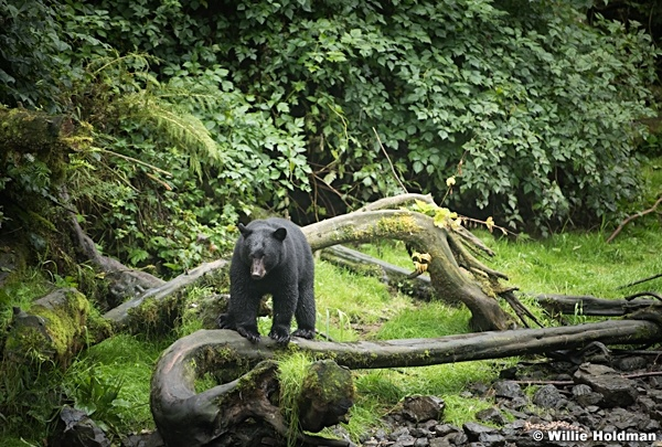 Black Bear 081916 4465