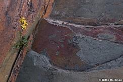 Yellow Wildflower Rock 080619 7715