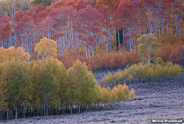 Afterglow Colorful Aspens 100919 6706 3
