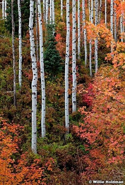 Maple Aspens Maple 092611 236