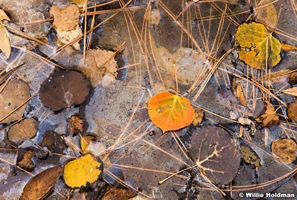 Aspen Leaves Detail 100816 3