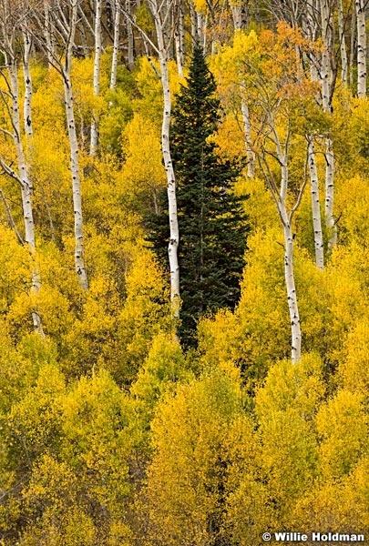 Lone Pine Yellow Aspens 100515 3