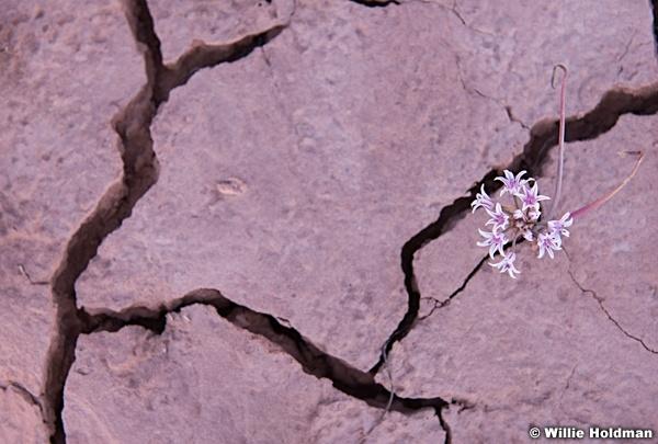 Desert Wildflower 041214 4906
