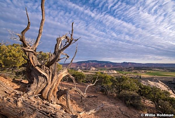 Aged Juniper Tree 092119 1143