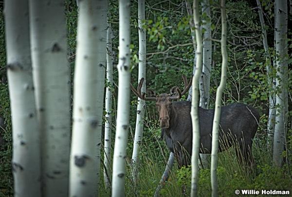 Moose Aspen Grove 082016 0869 2