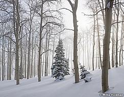 Misty Aspen Winter Trees 010117 6x7