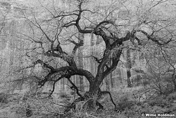 Black and White Cottonwood Tree 110616BW 4