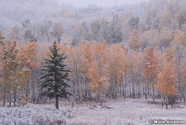 Autumn Snow Aspens 100718 8788 3