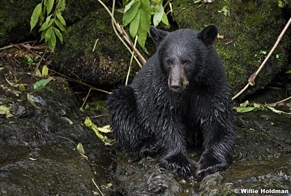 Black Bear 081916 4934