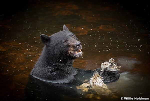 Black Bear Alaska 081916 5609