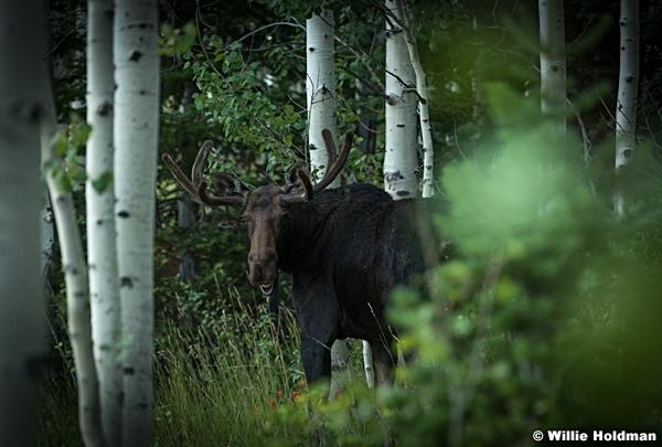 Moose Aspen Grove 082016 0876 3