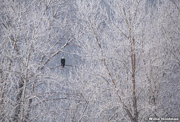 Frosty Trees Eagle 123020 7262 3