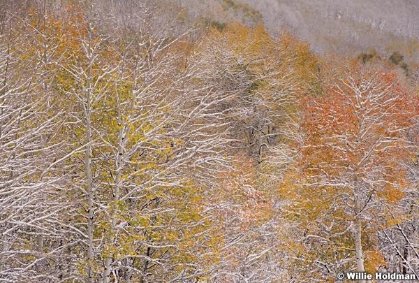 Autumn Snow Aspens 101018 0047 2