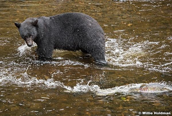 Black Bear Alaska 081916 5655