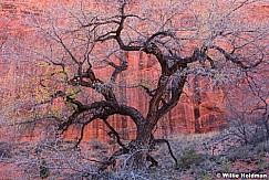 Cottonwood Tree Escalante 110616 2326 4