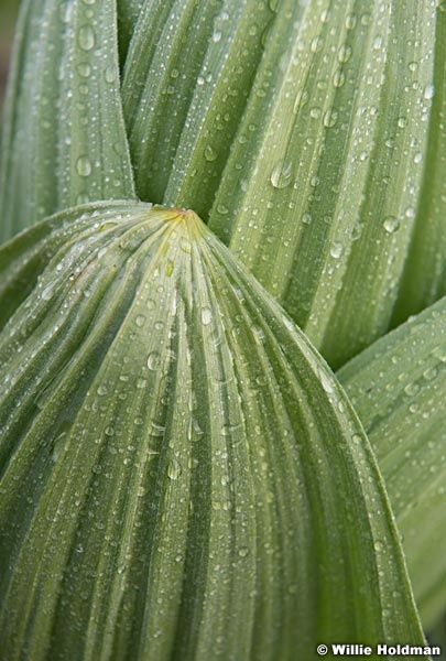 Skunk Cabbage Texture 063019 7810 2