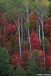 Maple Aspen Forset Anstract 091720 8769 3
