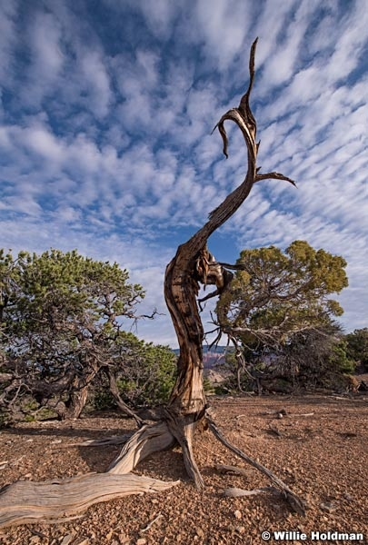 Aged Juniper Tree 092119 1221