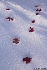 Red Maple Leaves Snow 101218 0583 4