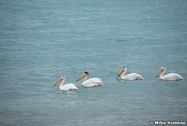 Bear Lake Pelicans 061720 7150