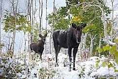 Cow Moose Calf 100611 2291
