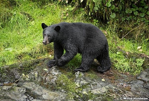 Black Bear 081916 5041