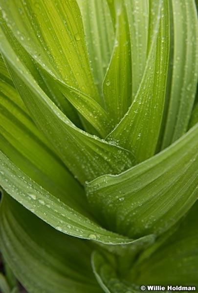 Skunk Cabbage Detail 063019 7807