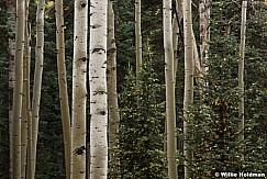 Wet aspens trunks among pines in the Uinta Forest, Utah