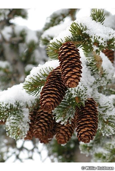 Pine cones022107 15193