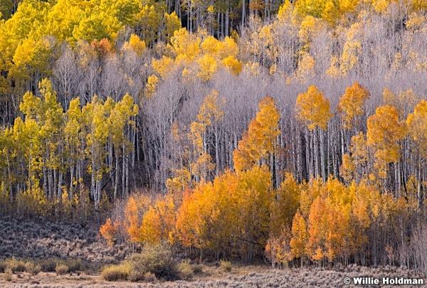 Colors Of Aspens Autumn 100919 7134 3