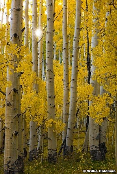 yellow aspen trunks 100817 0331