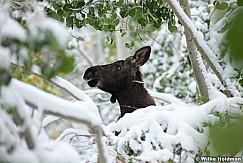 Cow Moose Calf 100611 314