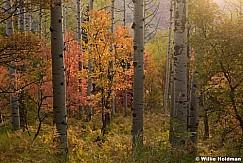 Autumn SAspens Maples 092016 3