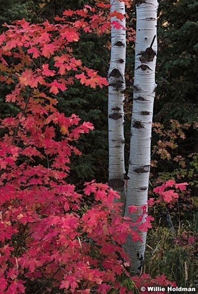 Red Maples Aspen Trunks 091916 4