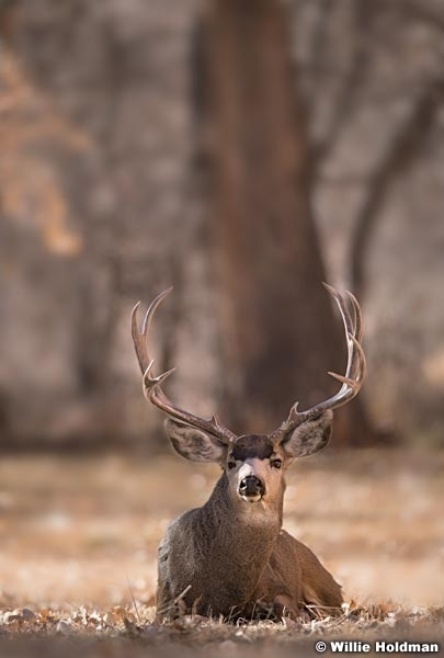 Mule Deer Buck 120917 4032