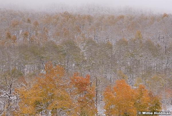 Autumn Snow Aspens 101018 160 3