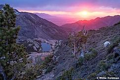 Bristleconepine Goat Sunset 070819 0160 3