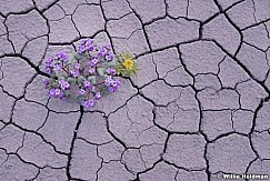 Desert Bloom 050814 8317