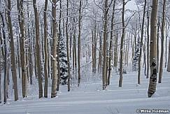 Snowy Aspens 123014 1699 2