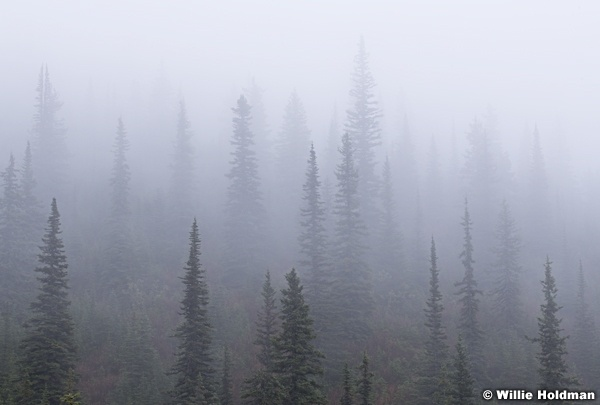 Pines in Fog 092618 3287