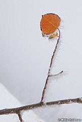 Aspen leaf frost 100812 122