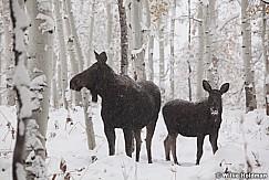 Cow Moose Calf 100711 63