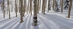 Aspen Winter Trunks Pano 030117 7851